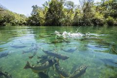 Big fishes in a clear river. Clear water in a river full of fishes ans lots of trees in the back Stock Photo