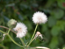 Clear white dandelion flower head in grass isolated Royalty Free Stock Images