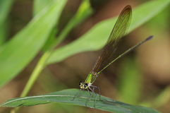 Clear-winged Forest Glory damselfly Royalty Free Stock Image