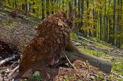 Clearcutting, clearfelling or clearcut logging in beech forest Stock Photo