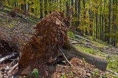 Clearcutting, clearfelling lub clearcut wyróbka na bukowym lesie, Zdjęcie Stock