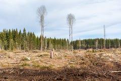 Clearcutting en un bosque del árbol de la picea imagen de archivo libre de regalías