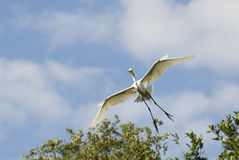 Cleared to land. Great Egret preparing to land royalty free stock photography