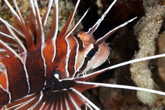 Clearfin Lionfish Royalty Free Stock Photos