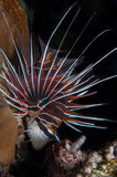 Clearfin lionfish Obrazy Royalty Free