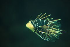 Clearfin lionfish Stock Images