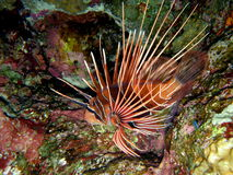 Clearfin Lionfish Hunting Royalty Free Stock Photos