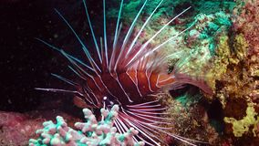 Clearfin lionfish Pterois radiata, Fish hunt and swim over a coral reef. stock video footage