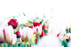 Clearing Beautiful Tulips on Summer Day with Copy Space, Colorfu Stock Photo