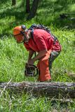 Clearing deadfall with chainsaw. Trail maintenance worker wearing red shirt, hardhat, and protective orange chaps cuts through fallen tree trunk with chainsaw in royalty free stock image