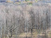 Clearing at the edge of bare forest in spring royalty free stock images