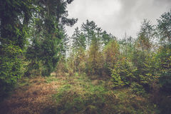 Clearing in a forest with birch trees. In the fall Royalty Free Stock Images