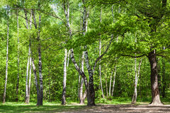 Clearing in green oak and birch grove in sunny day Royalty Free Stock Photography