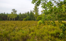Clearing with heath along a forest. Clearing with heather along a forest in summer Royalty Free Stock Images