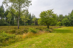 Clearing with heath along a forest. Clearing with heather along a forest in summer Royalty Free Stock Photography