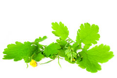Clearing medicinal celandine. Isolated on a white background Stock Photos