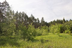 In a clearing in the pine forest in the summer Royalty Free Stock Photography