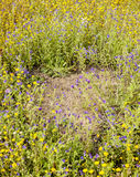 Clearing within yellow and blue flower meadow made by ants Royalty Free Stock Image