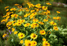 Clearing yellow gelenium. Glade of a blossoming yellow gelenium stock photography