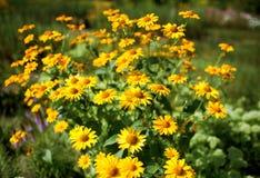 Clearingowy żółty gelenium Fotografia Stock