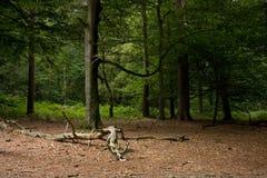 clearingowy las Zdjęcie Royalty Free