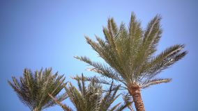Clear blue sky and the leaves in the wind from the palm trees stock video