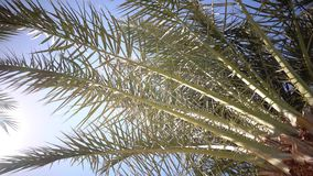 Clear blue sky and the leaves in the wind from the palm trees. Clearly the blue sky and in the wind swaying leaves from palm trees, the weather is sunny and stock footage