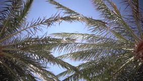 Clear blue sky and the leaves in the wind from the palm trees. Slow motion. Clearly the blue sky and in the wind swaying leaves from palm trees, the weather is stock footage
