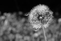 Black and White Macro Dandelion Puff Losing Seeds royalty free stock image
