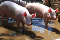 Clearly washed pigs on their stable waiting for food royalty free stock images