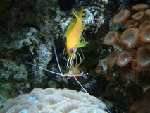 Clearner shrimp cleaning Anthias. A cleaner shrimp cleans the inside of an Anthias fish Stock Image