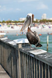 Clearwater海滩佛罗里达鹈鹕 免版税库存照片
