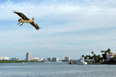 Clearwater Beach. A brown pelican flying in Clearwater Beach, Florida, USA Royalty Free Stock Images