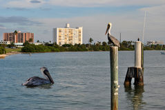 Clearwater Beach. Tow brown pelicans in Clearwater Beach, Florida, USA Royalty Free Stock Images