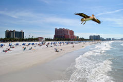 Clearwater Beach. A brown pelican flying in Clearwater Beach, Florida, USA Stock Photography