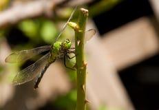 clearwing λιβελλούλη πράσινη Στοκ Εικόνα