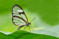 Clearwing Butterfly. Close-up of a clearwing butterfly (Miraleria cymothoe) perched on a leaf Royalty Free Stock Photo