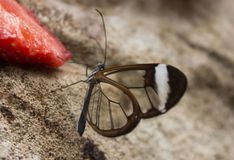 Clearwing butterfly. A clearwing butterfly eating from a strawberry that was cut in half Royalty Free Stock Photo