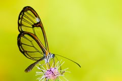 Clearwing butterfly with transparent `glass` wings Greta oto closeup sitting and drinking nectar from a purple flower. With green leaves. Photo with green bokeh Royalty Free Stock Image