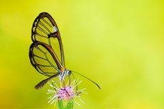 Clearwing butterfly with transparent `glass` wings Greta oto closeup sitting and drinking nectar from a purple flower. With green leaves. Photo with green Stock Photos