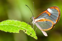 Clearwing butterfly with transparent `glass` wings Greta oto closeup sitting on a green leaf. Partly eaten by caterpillar. Photo with green bokeh background out Royalty Free Stock Image