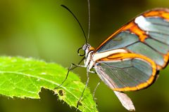 Butterfly with transparent clearwing `glass` wings Greta oto closeup macro photo. Clearwing butterfly with transparent `glass` wings Greta oto closeup sitting Stock Photo