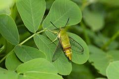 Clearwing Coffee bee hawk moth near Pune, Maharashtra, India.  stock photos