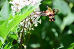 Clearwing Hummingbird Moth. Hemaris thysbe feeding on Miss Kim Lilac in Oakland County, Michigan Stock Images