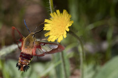 Clearwing hummingbird moth - hemaris thysbe. Clearwing hummingbird moth foraging in a yellow mountain dandelion flower. Isolated on a blurry background Royalty Free Stock Photos