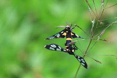 Clearwing moth in Thailand. Macro photography of two clearwing moths mating in the wild of Thailand Royalty Free Stock Photography