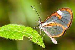 Clearwing motyl z przejrzystego ` szklanym ` uskrzydla Greta oto zbliżenia obsiadanie na zielonym liściu Obraz Royalty Free