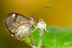 Clearwing-Schmetterling mit Greta-oto Nahaufnahme die Flügel der transparenten 'Gläser, die auf einer Blattblume sitzt lizenzfreie stockbilder