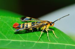 Clearwing Wasp Mimic Moth. Perched on a green leaf Royalty Free Stock Photo