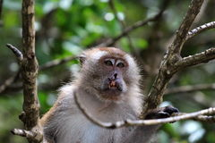 Cleft lip monkey on a tree Stock Photos